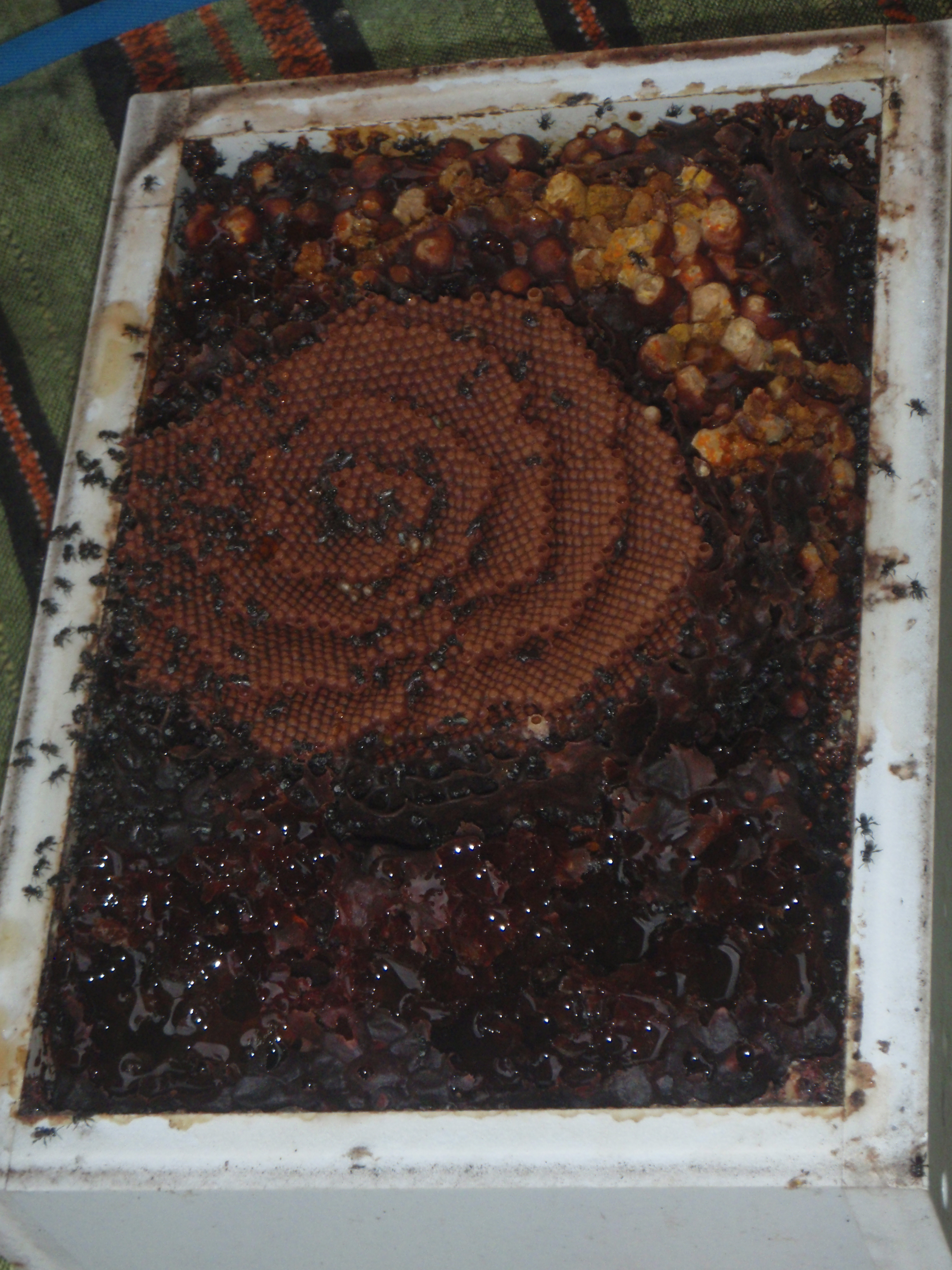 native bee hive being split by Dr Tim Heard.